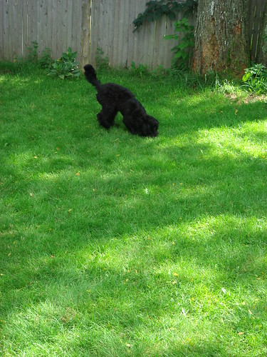 He lobbed it to the back of the yard.....(Love it when she sticks her teeny butt up into the air like that!).....