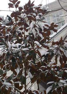 Snow on a Magnolia