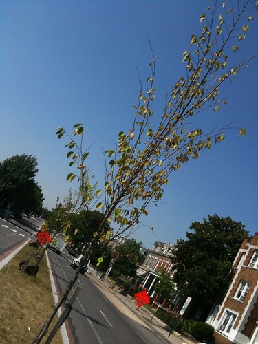 Thirsty Trees in New Hampshire Ave Median