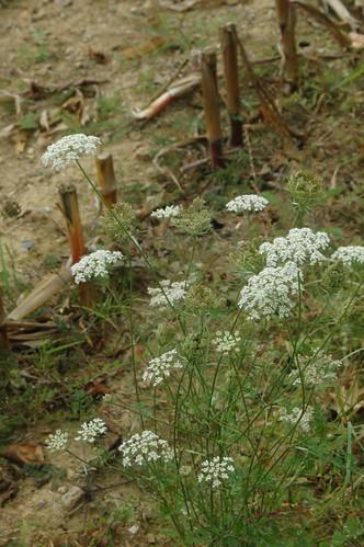 Conium maculatum (Hemlock or Poison Hemlock) and stems of Zea mays