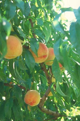 peach_tree_l