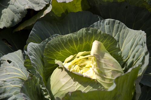 cabbage! (by bookgrl)