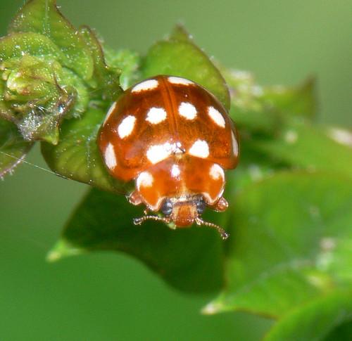Cream-spot ladybird (Calvia 14-guttata)