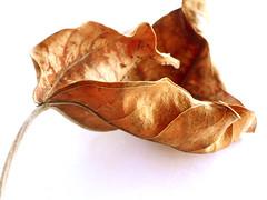 Dead, Shriveled Leaf