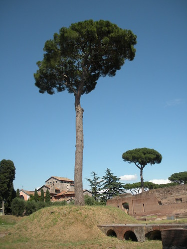 Palantine Hill has several umbrella pines, which I thought were lovely.