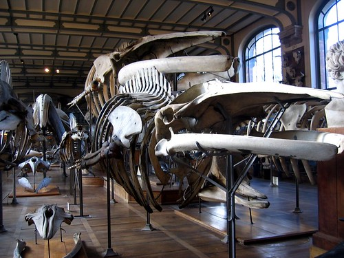 Whale skeletons in