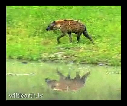 Hyena on WildEarth.tv game drive tonite