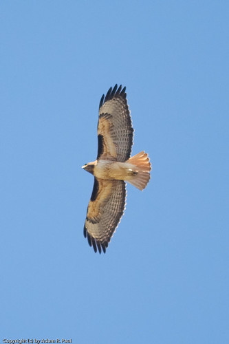 Red-tailed Hawk by you.