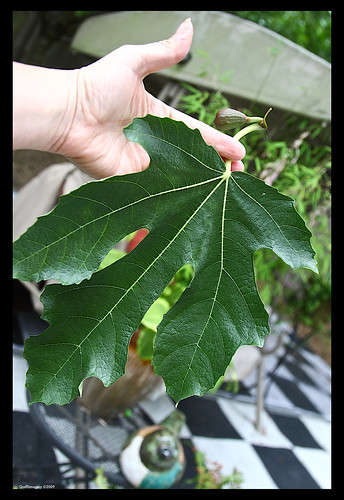One of the smaller fig leaves on my tree