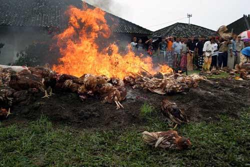 Para penduduk peternak kemudian secara sadar memusnahkan ayam-ayam yang sakit dan melakukan upacara sesuai adat Hindu Bali.
