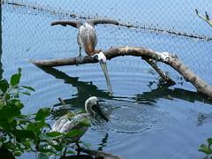 Virginia Living Museum - Pelicans Fish