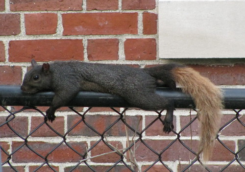 Black squirrel with a blond tail