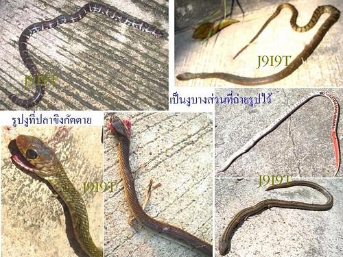 snake bitten by ปลาขิง