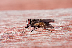 Bush fly on wooden table