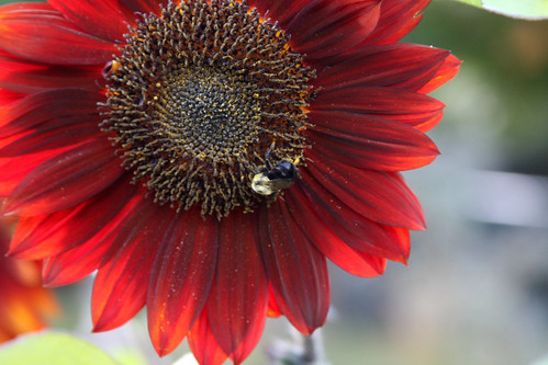 Sunflower & A Busy Bee II