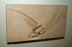 Pterodactylus longirostrus