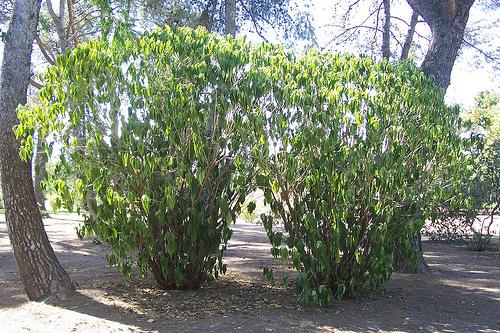 Estos dos arbustos se estan marchitando por la falta de agua. Parque Cruz Conde