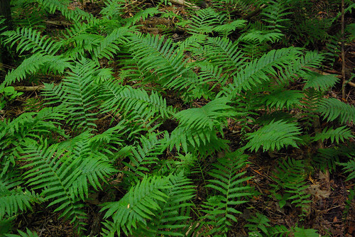 ferns by William J. Gibson, the Canuckshutterer