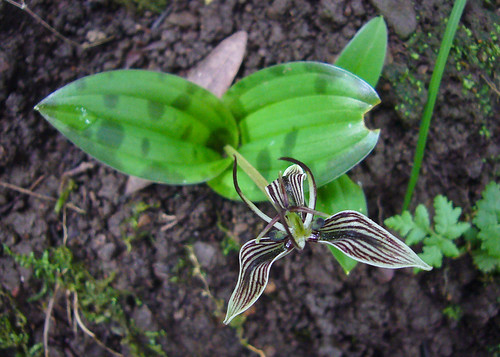 Fetid Adder's Tongue by you.