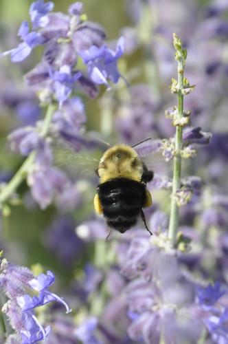 busy bee #2 (c) Lynne Medsker