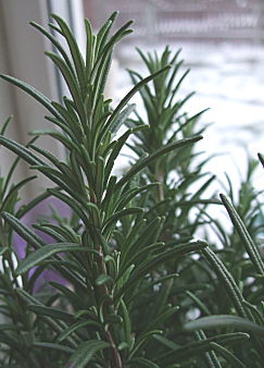 Rosemary plant, sitting on the bedroom windowsill. snow in the background.