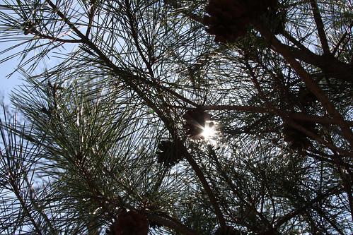 Sunny Pine Needles
