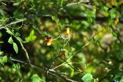 rosehips, pentax k10d, kuşburnu