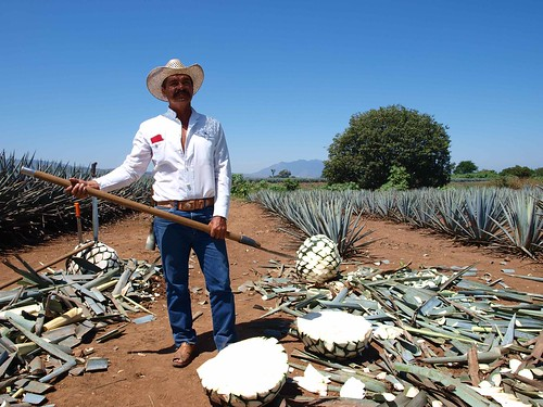 Agave harvester hacking into the pina of an agave
