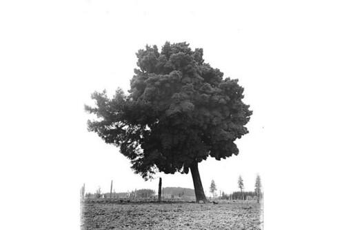 Single large tree leaning to left, Washington state