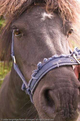 Angus the pony _G201251