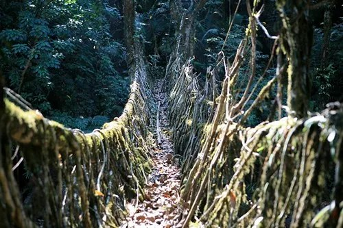 Puentes vivos de Meghalaya, India
