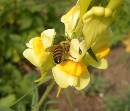 Biene an Löwenmäulchen 1