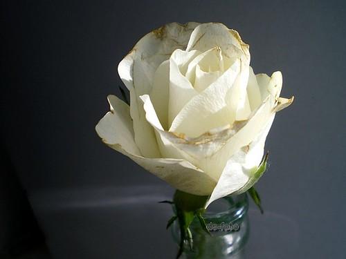 :: white rose ::