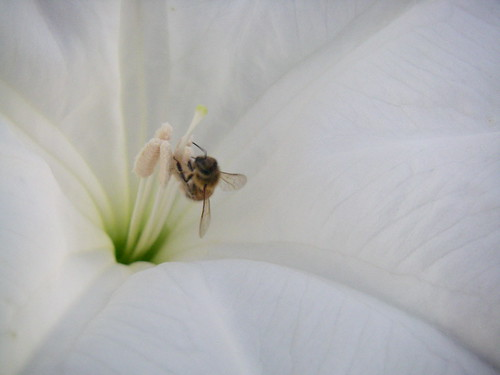 Moon Lilly with Bee