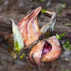 Eastern Skunk Cabbage