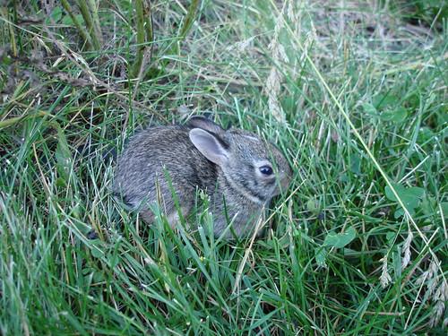 Bunnies in my garden 7-5-2009 7-02-42