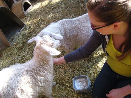 meeting a goat