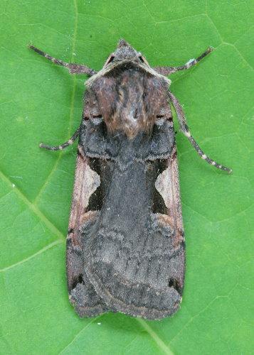 10942-1 - Xestia dolosa - Greater Black-letter Dart