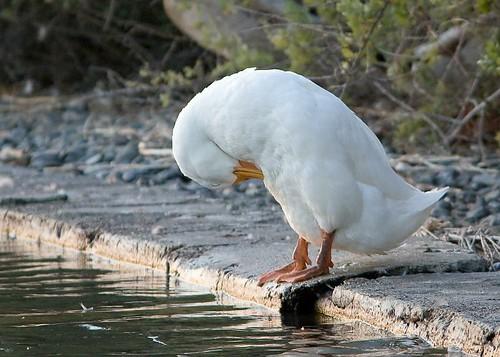 Pekin Duck by you.