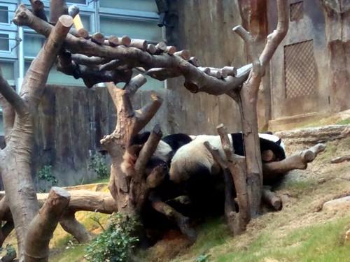 ying yang and lele upclose