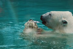 Eisbär Olaf im Zoo d'Amnéville