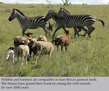 Wildlife and livestock graze Kenya's Kitengela rangelands