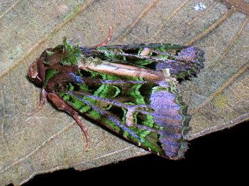 An unidentified Ecuadorian moth, by Doug of Gossamer Tapestry