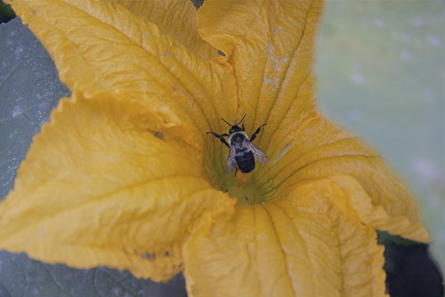pumpkin blossoms with bee