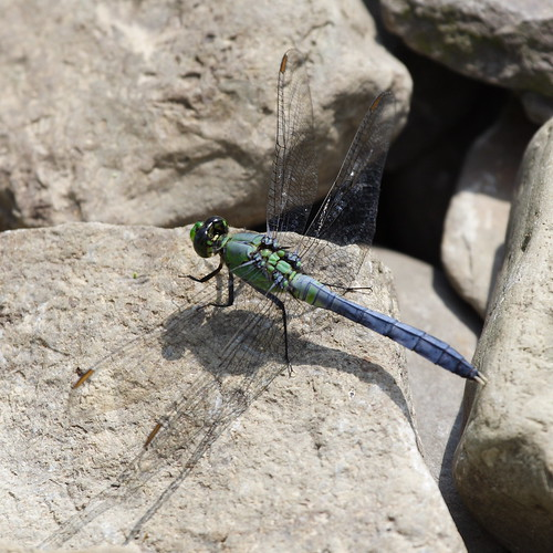 Eastern Pondhawk - Male