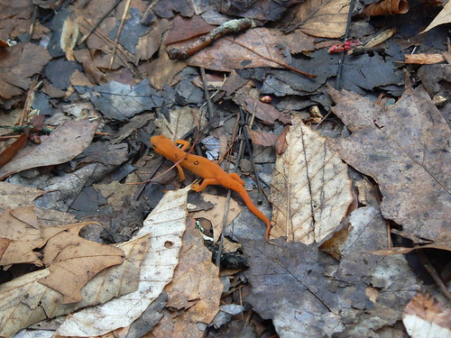Fairystone State Park - Little Mountain Falls Trail - Red Eft 1