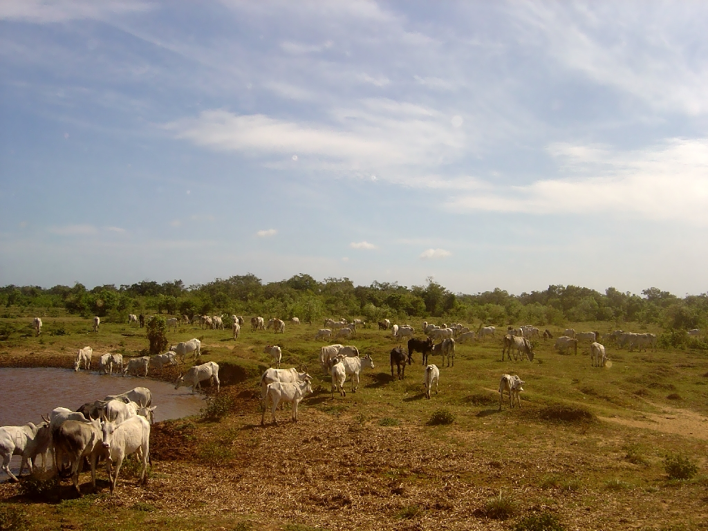 The white bovine herd