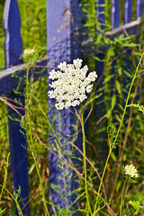 Queen Anne's lace and fence
