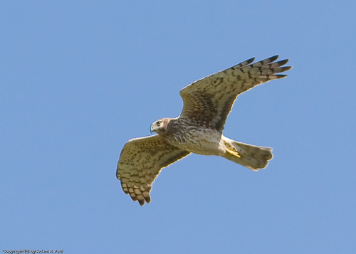 Northern Harrier by you.