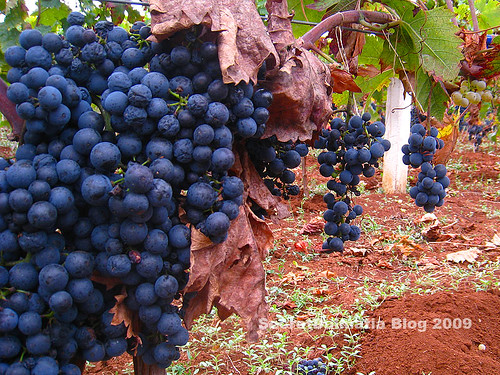 Dobričić grapes ready to be picked